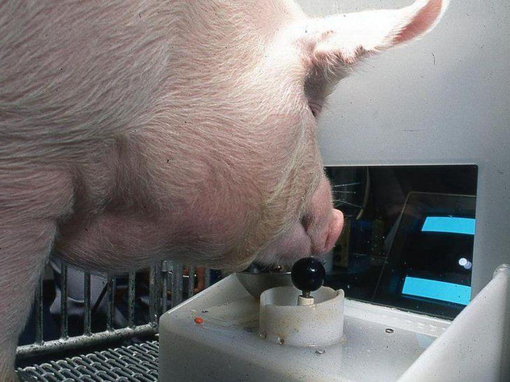 Ilmuwan Latih Babi Main Game Pakai Moncongnya