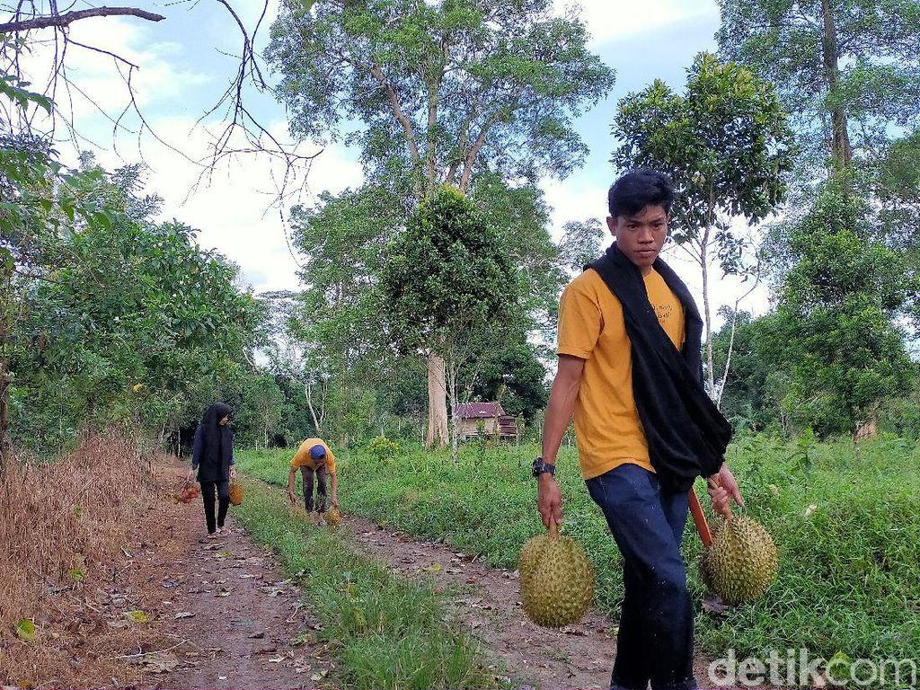 Menyusuri Hutan dan Menikmati Durian Jatuh dari Pohon, Nikmat!
