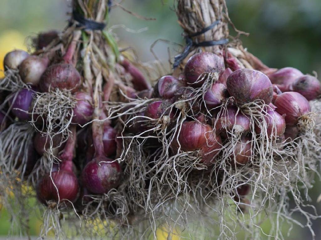 Tumbuh Subur, Bawang Merah di Food Estate Sumut Siap Panen