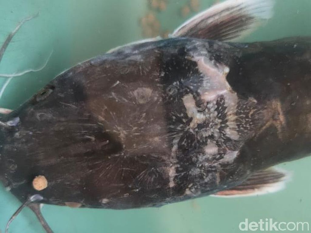 Ada Gambar Garuda di Kepala Lele Bermulut Dua yang Ditemukan Warga Jember
