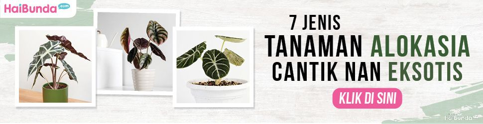 Banner Tanaman Hias Alokasia