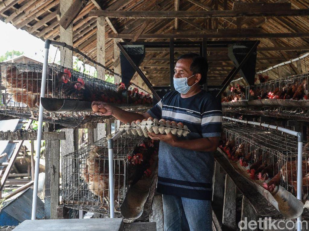 Harga Telur Ayam Anjlok, Pakar IPB Sarankan Solusi Ini