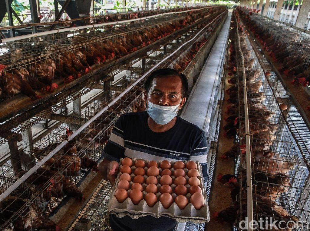 Kementan Klaim RI Swasembada Ayam-Telur, tapi...