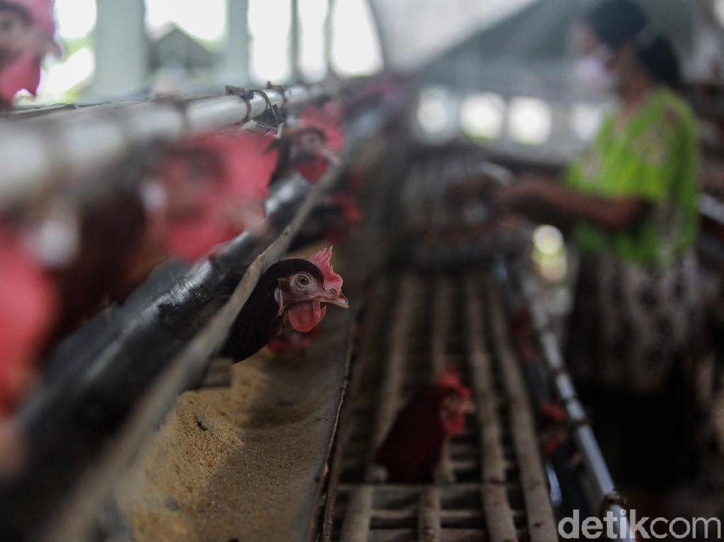 Mana Lebih Menguntungkan, Ternak Ayam Petelur atau Pedaging?