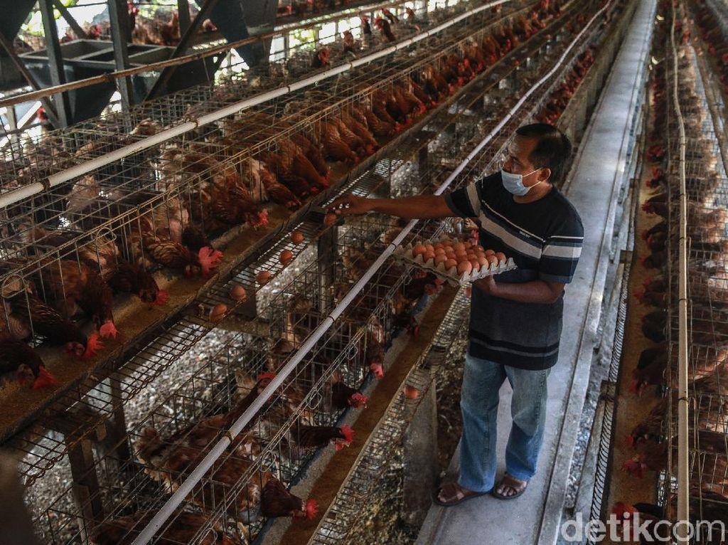Aroma Kartel di Balik Rugi Rp 5,4 Triliun Peternak Ayam