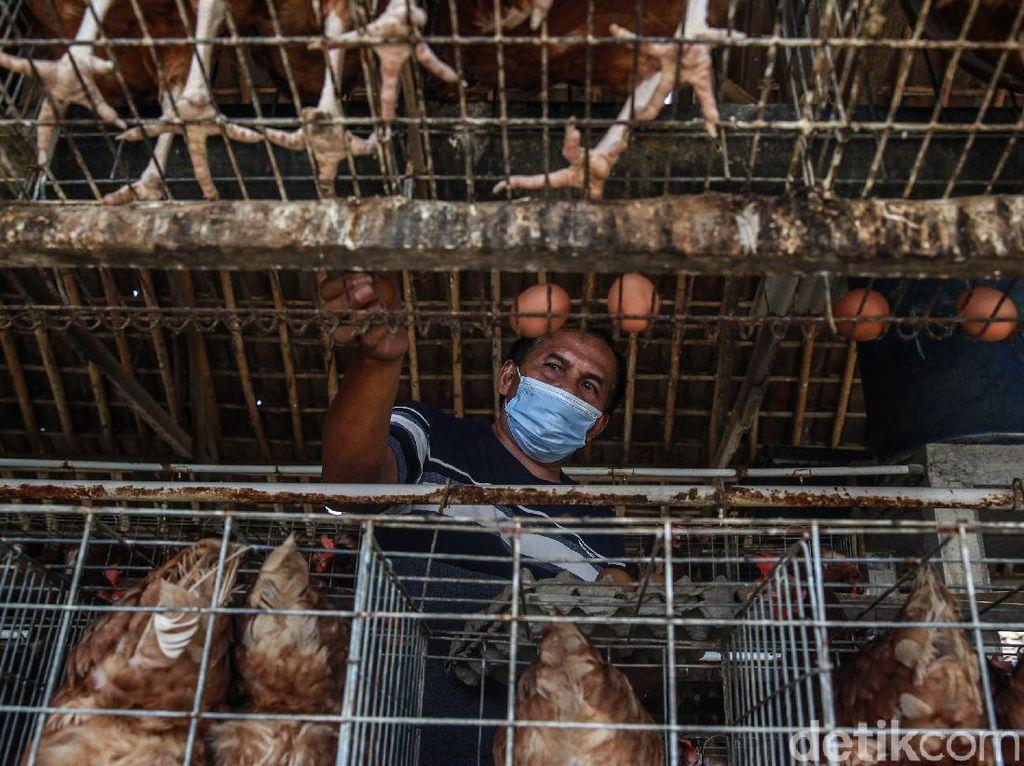 Dear Peternak Ayam, Pakai Teknologi Pakan Ini Biar Hemat Belasan Juta