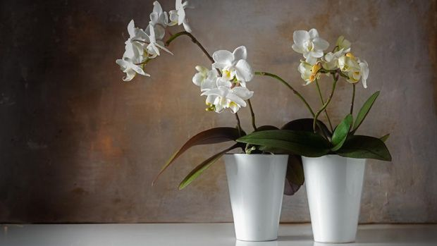 potted white orchids (Phalaenopsis) on a shiny sideboard in front of a rough vintage wall, decoration with contrast between old and modern, copy space, selected focus