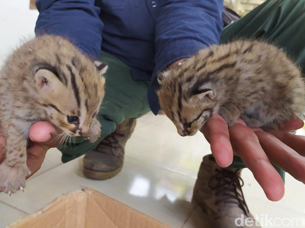 Dua Ekor Kucing Hutan Ditemukan Pencari Rumput di Lamongan