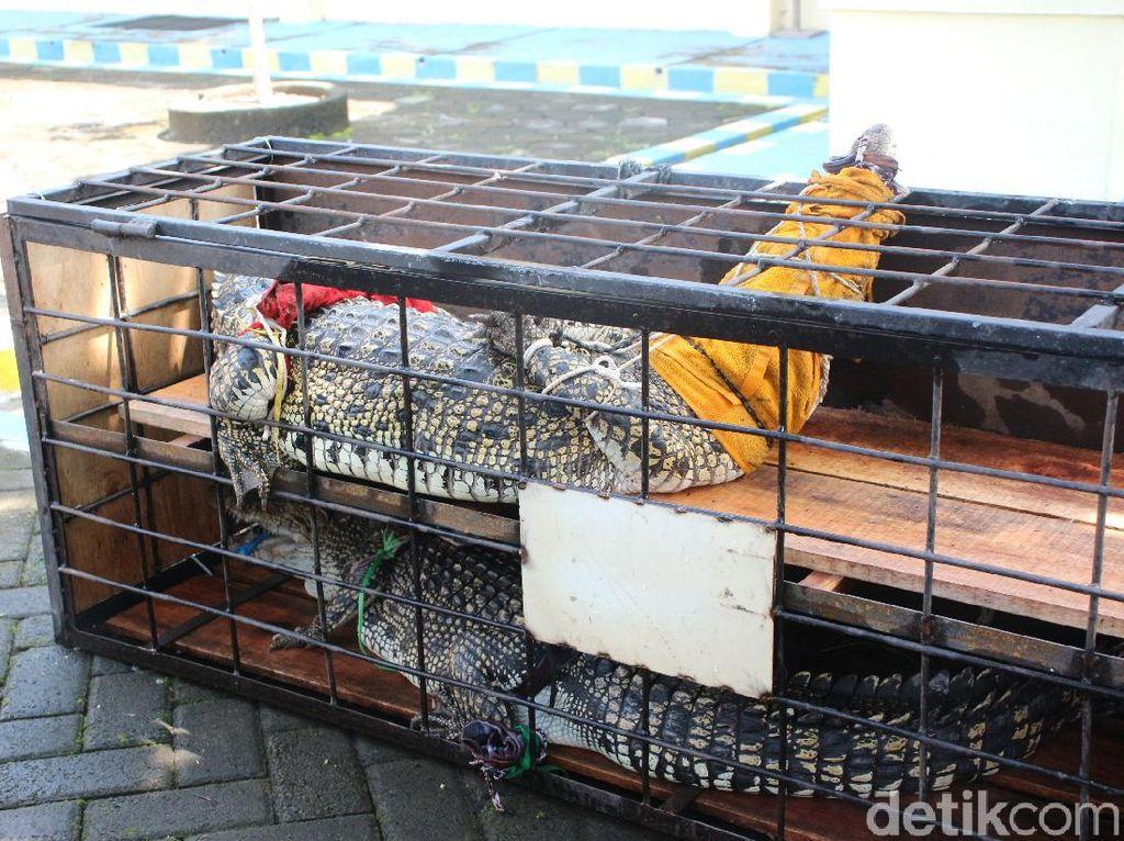 Penjual Buaya Muara Lewat Medsos Dibekuk Polisi di Yogyakarta