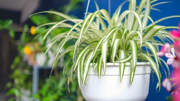 Chlorophytum comosum, Spider plant  in white hanging pot / basket, Air purifying plants for home, Indoor houseplant, Hanging plant, Vertical wall garden, Houseplants With Health Benefits concept