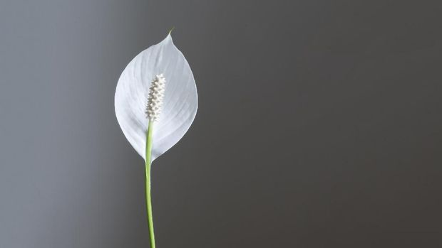Spathiphyllum: a white fragrant flower, also called a Peace lily and Women`s happiness. Isolated on neutral gray background.. Copy space. Clipping path.