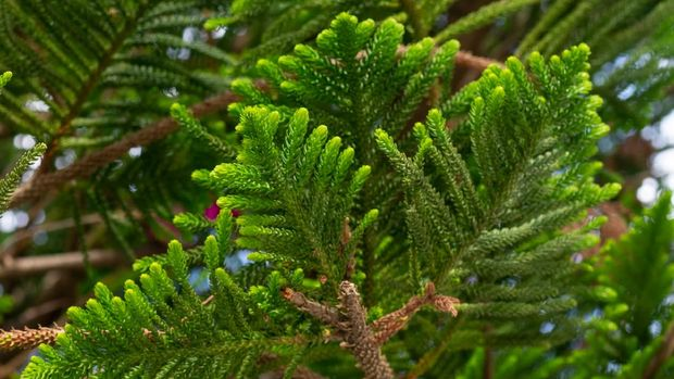 Araucaria evergreen coniferous tree branch with needle-like leaves.