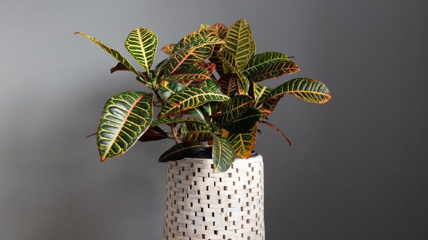Wide Shot of Croton Plant Against a Grey Background