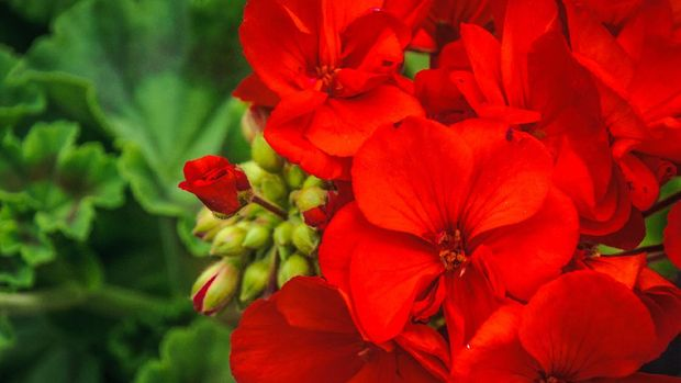 Close up of a red geranium flower and unopened buds.