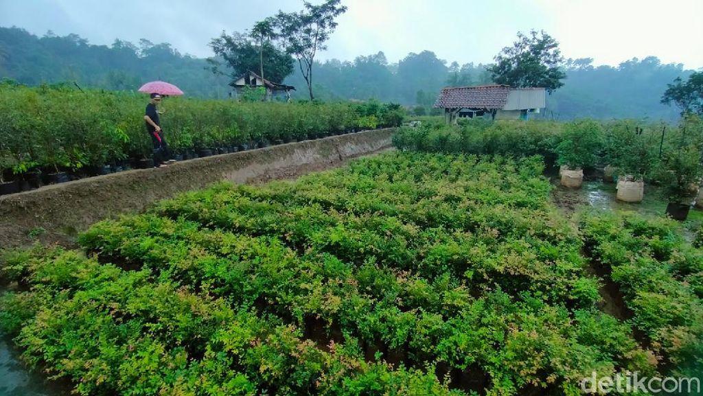 Foto: Kebun Anggur Brasil, Tapi Kok di Majalengka