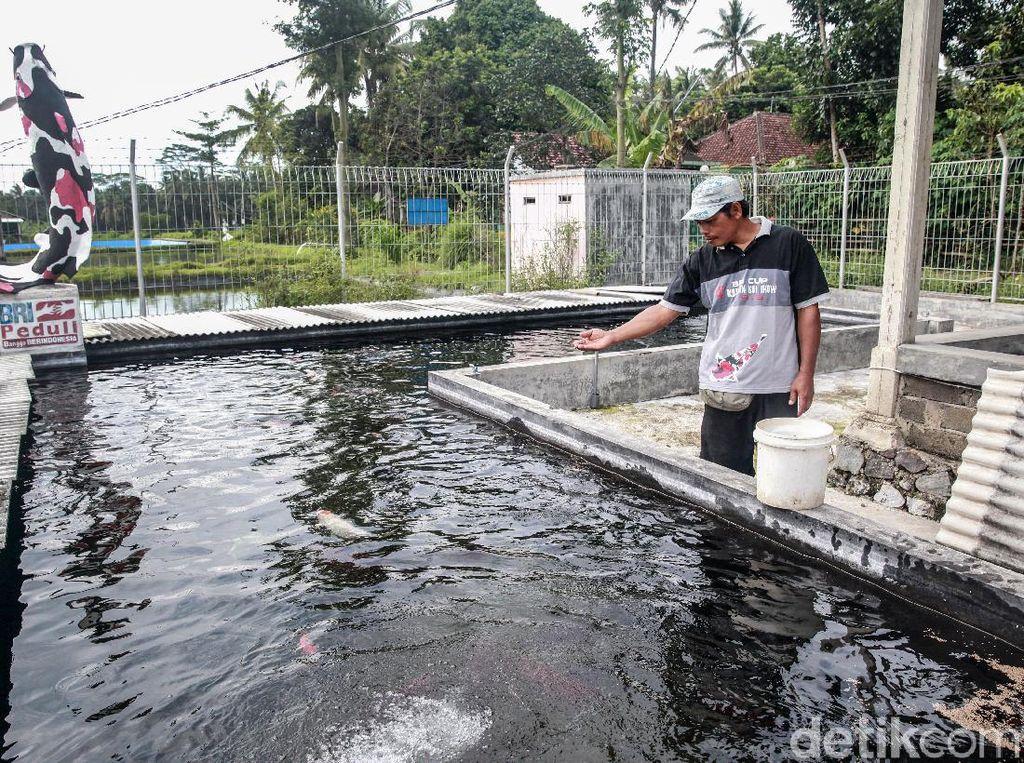 Jadi Primadona, Ikan Koi dari Blitar Sudah Berenang ke Negeri Jiran