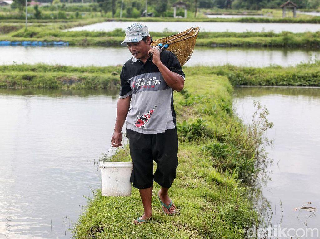 Beternak Ikan Koi Si Pembawa Hoki