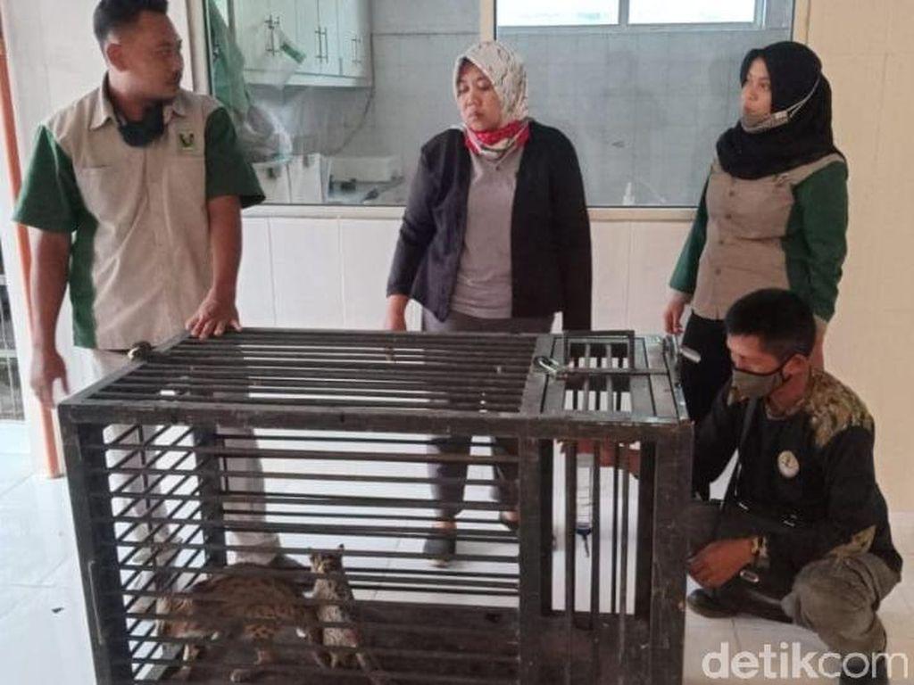 Warga Lamongan Kembali Serahkan Dua Kucing Hutan ke BKSDA