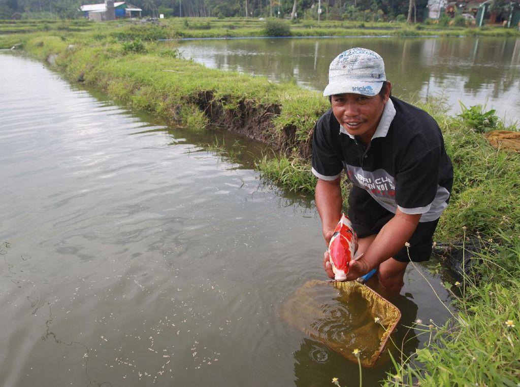 Walau Pandemi, Budidaya Ikan Koi di Blitar Tetap Cuan