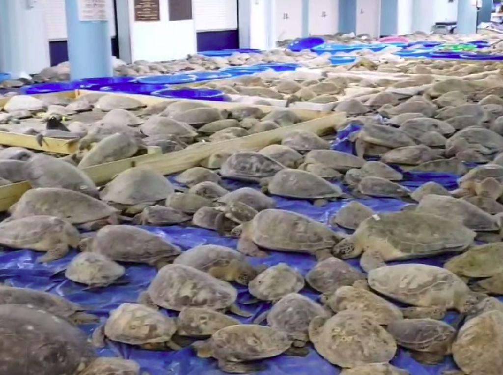 4.000 Penyu yang Pingsan Kedinginan Berhasil Diselamatkan