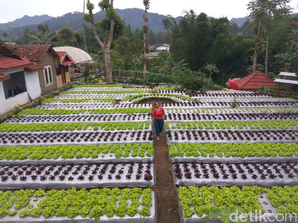 Liburan ke Lembang? Cobain Yuk Berkebun di Agrowisata Halimun