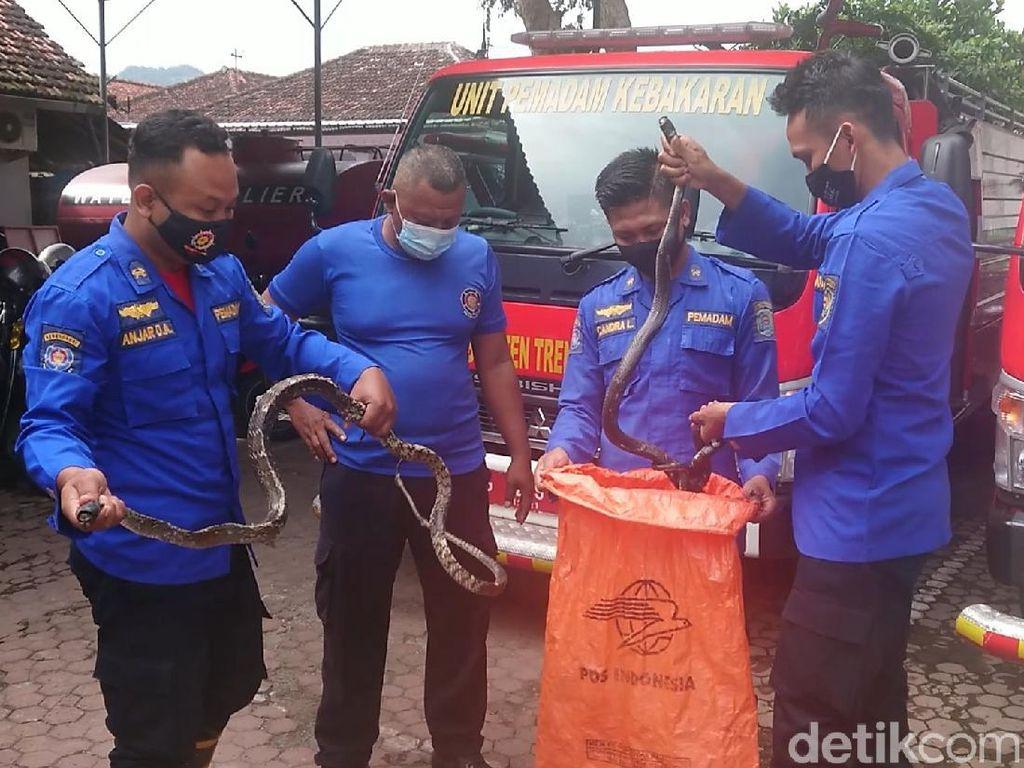 Damkar Trenggalek Evakuasi Dua Ular Kobra di Puskesmas