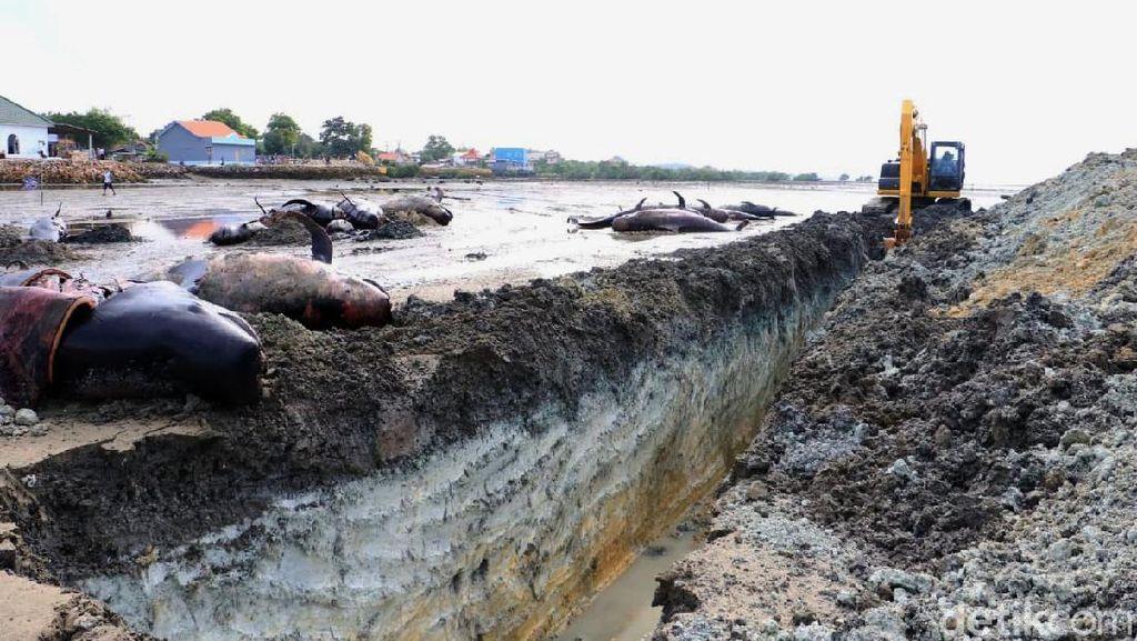 Puluhan Paus yang Mati Terdampar Dikubur di Pantai Bangkalan