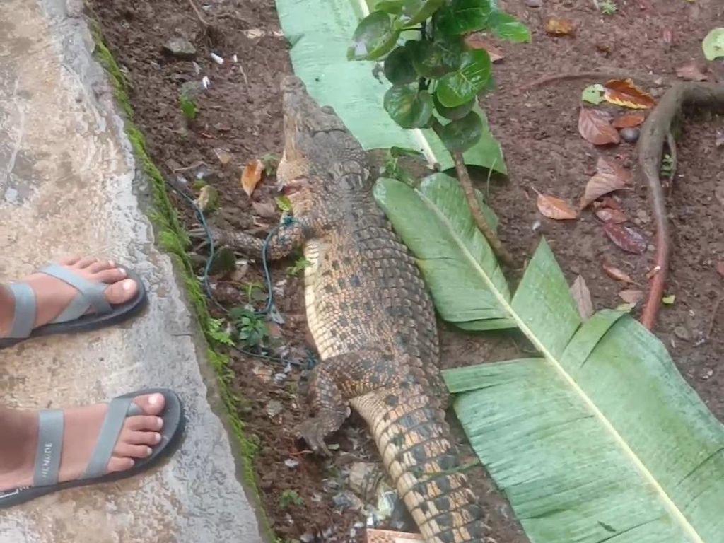 Kerap Mangsa Ternak, Diduga Buaya Muara di Sumsel Ditembak Mati Warga