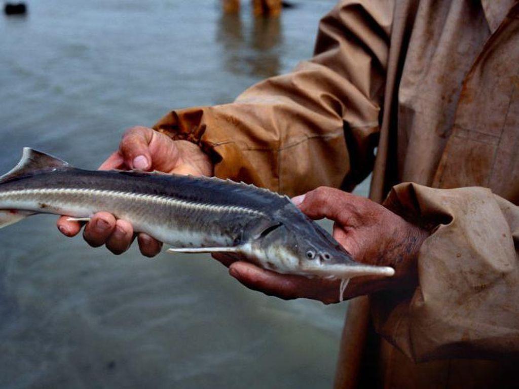 Ikan Air Tawar di Dunia Terancam Punah, Populasinya Turun Drastis