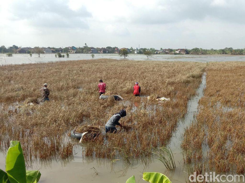 2.601 Hektare Tanaman Padi di Kudus Puso Akibat Banjir