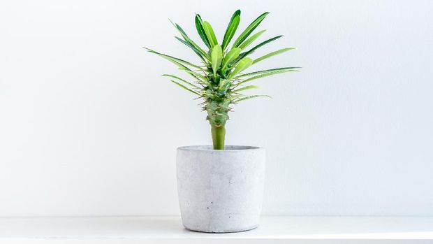Small green madagascar cactus tree in concrete pot on white shelf isolated on white background.