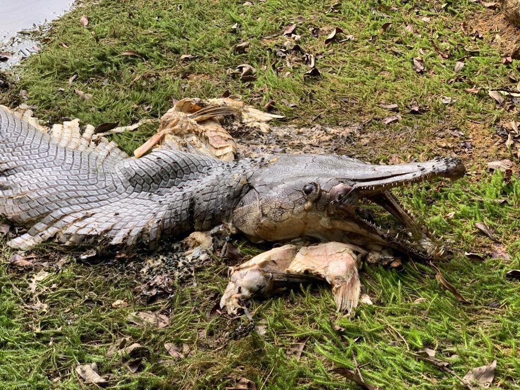 Ikan Aneh Mirip Buaya Gemparkan Warga Singapura