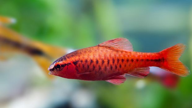 Bright red dominant male tropical aquarium fish Cherry barbus. Close-up of an exotic pet with lineament coloring of scales fins and pattern. Shallow depth of field, selective focus