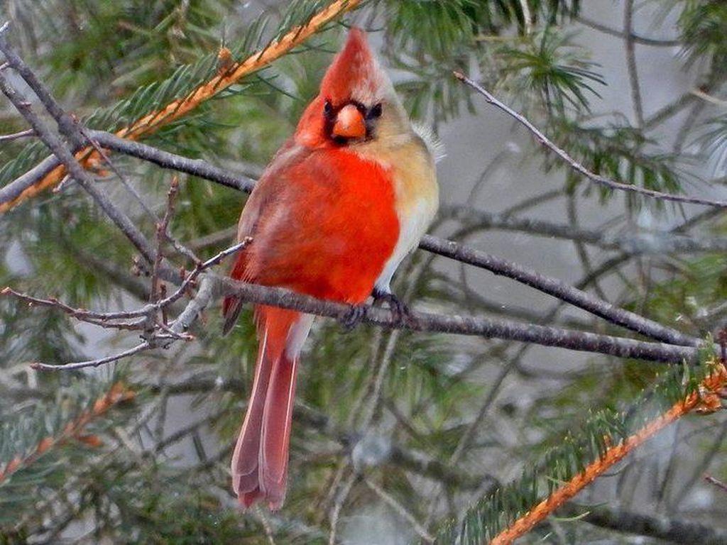 Burung Langka Setengah Jantan Setengah Betina Tertangkap Kamera di AS