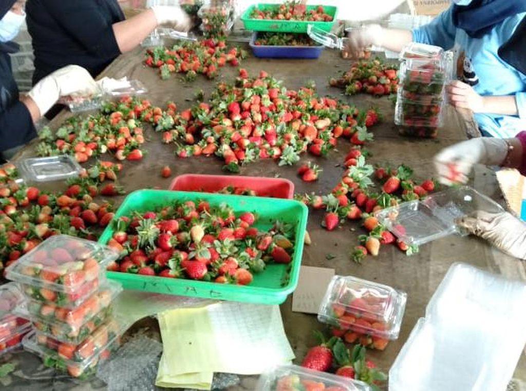 Produksi Melimpah, Komoditas Strawberry Bandung Butuh Pasar Lebih