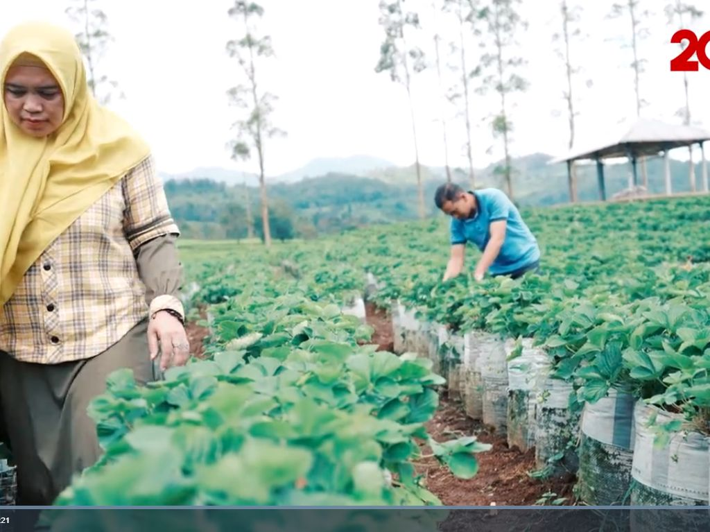 Berkat Strawberry, Petani di Bandung Kantongi Omzet Ratusan Juta