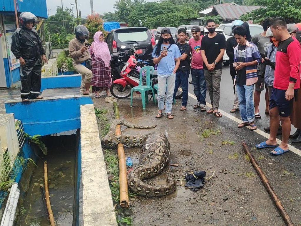 Ular Piton 7 Meter Ditangkap Warga Usai Mangsa Anak Sapi di Maros Sulsel