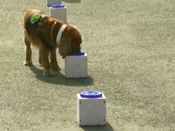 Melihat Pelatihan Anjing Pelacak Covid-19 di India