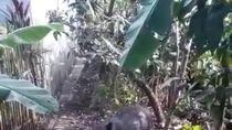 Babi Hutan Masuk Perkampungan-Seruduk Warga di Bayongbong Garut
