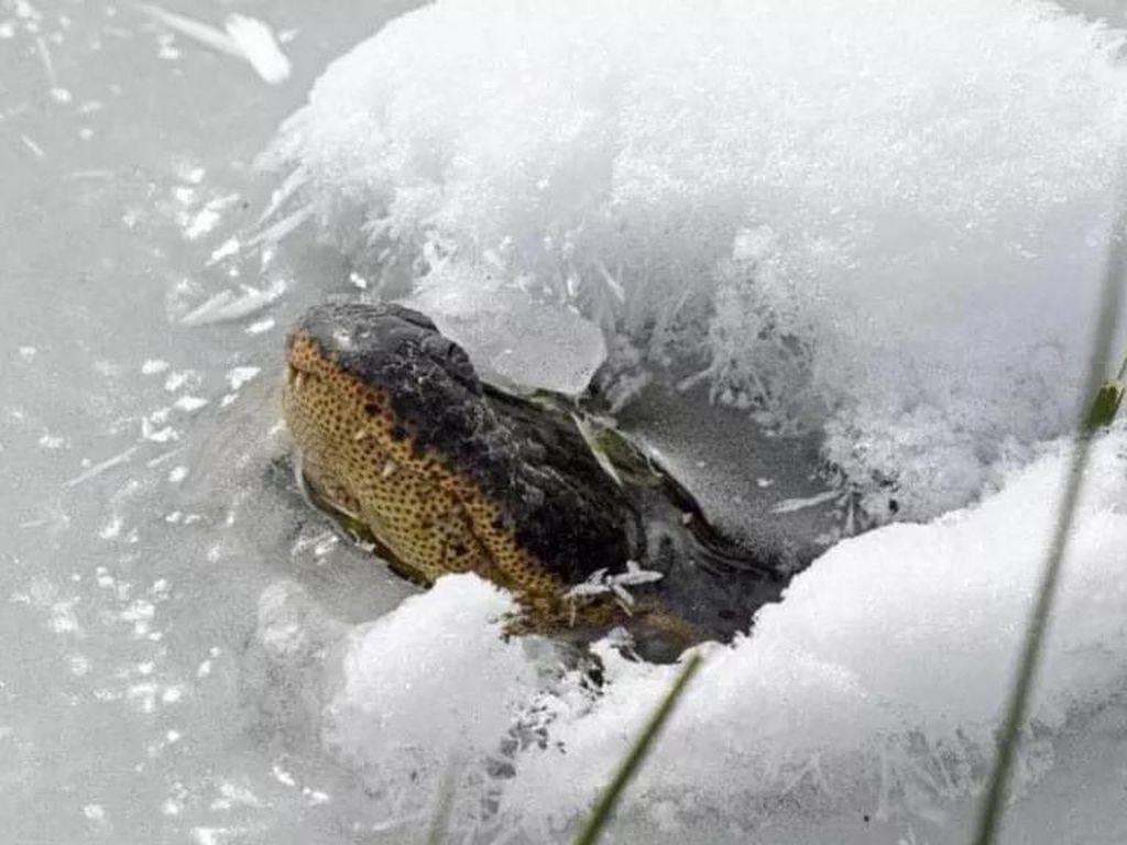 Fenomena Aneh Moncong Aligator Bermunculan dari Lapisan Es