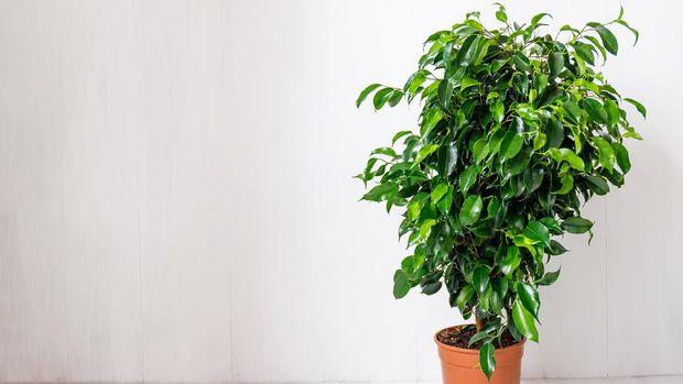 Plant ficus benjamina in a dark brown pot. Weeping fig, benjamin fig, ficus tree. Nature concept. Home gardening