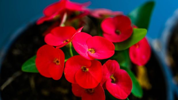 Close up of Red Christ Thorn Flower or Crown of thorns plant