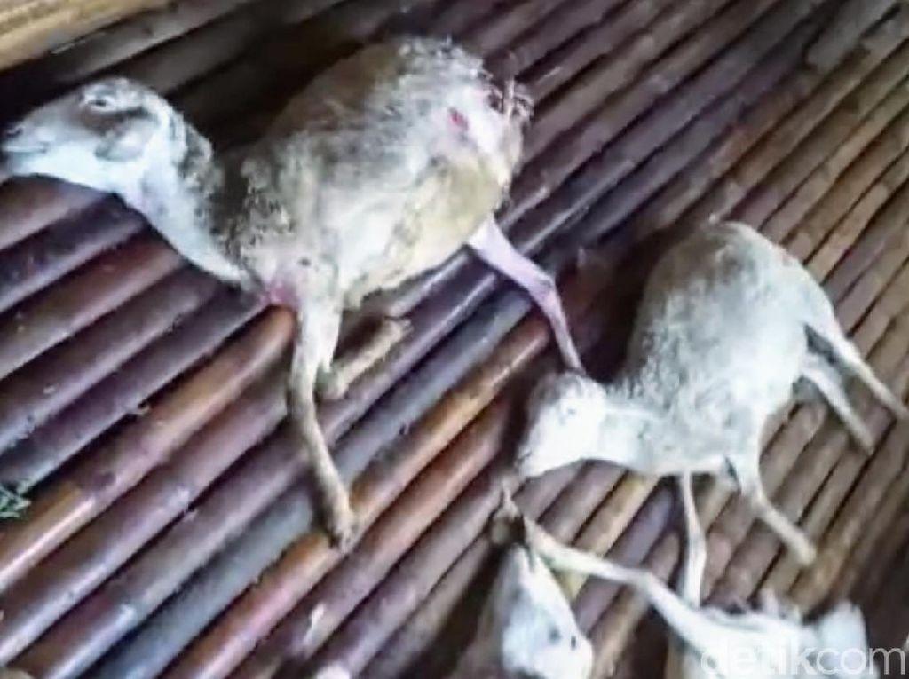 Belasan Kambing Mati Misterius dengan Luka Kecil Kembali Terjadi di Bondowoso