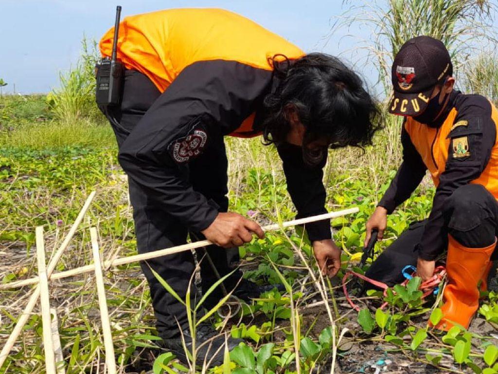 Cegah Abrasi, Ribuan Tanaman Mangrove Ditanam di Pesisir Sukabumi