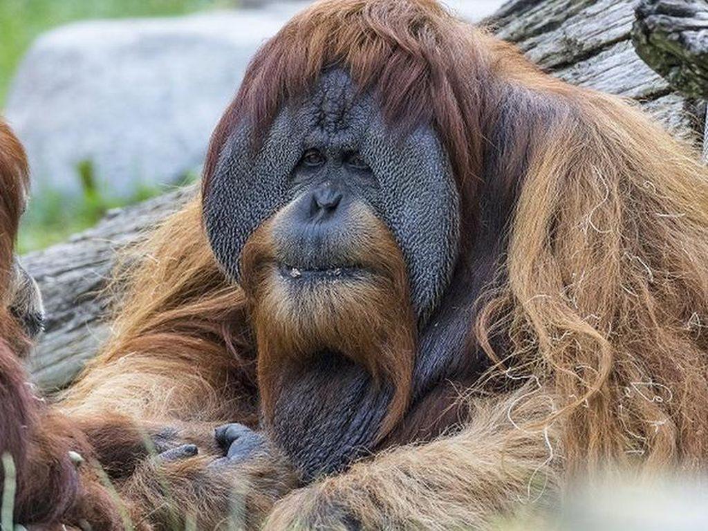 Vaksin Corona Eksperimen Diberikan pada Orangutan di San Diego