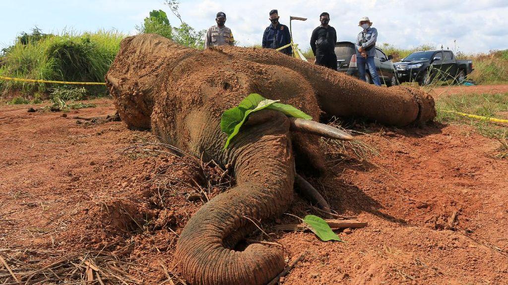 Melihat Proses Nekropsi Gajah Sumatera di Aceh