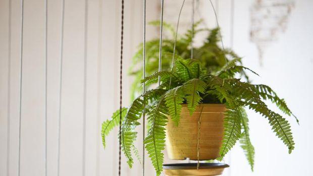 Pot of hanging Boston fern, hanging green plant decoration
