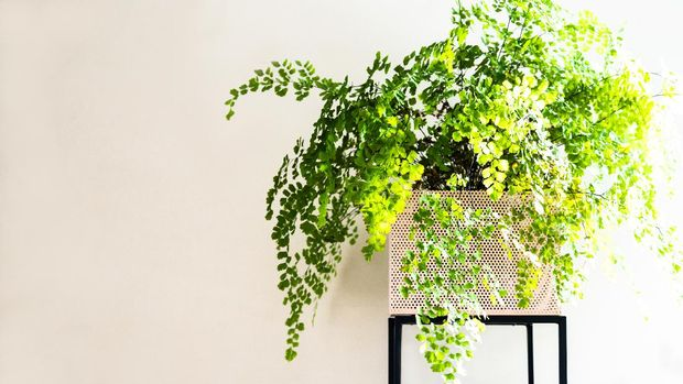 Maiden fern in pink plant stand