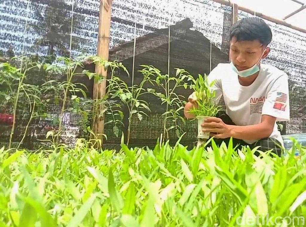 Isi Waktu Luang, Pelajar SMK Bisnis Hidroponik Raup Omzet Jutaan
