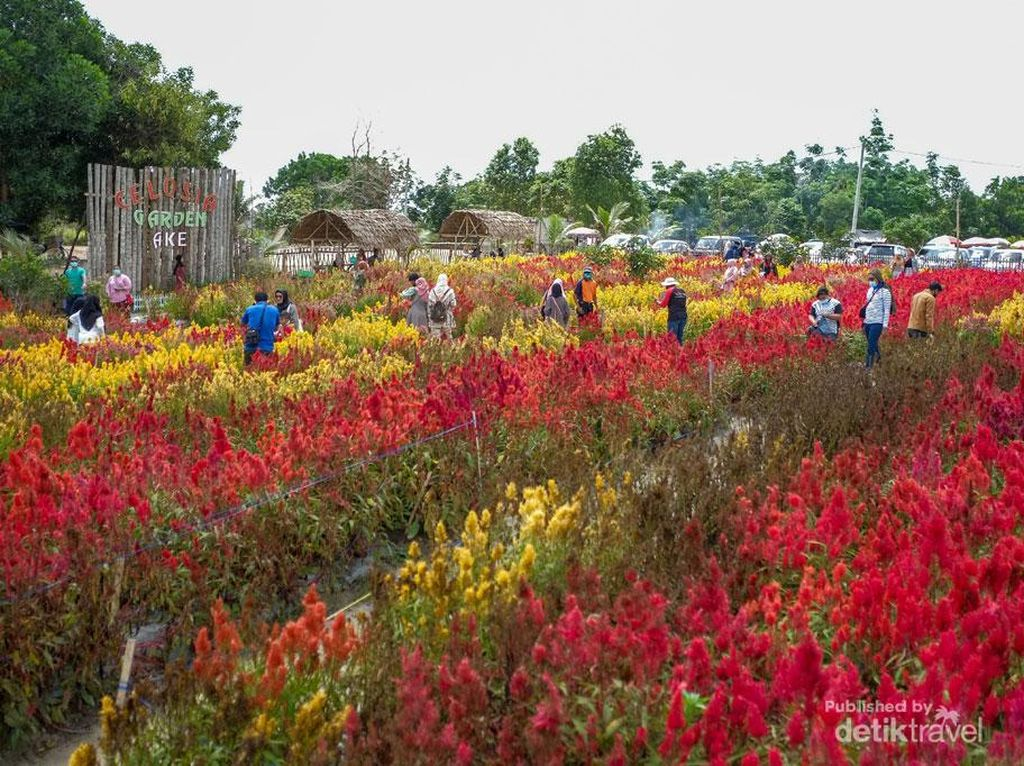 Pesona Wisata Taman Bunga Celosia di Pulau Belitung